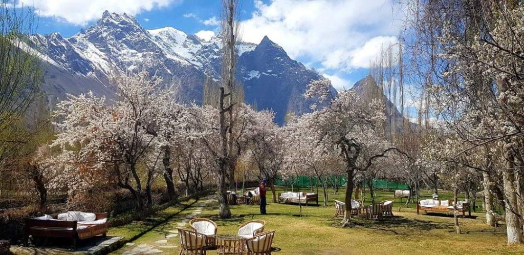 Cherry Blossom Shigar